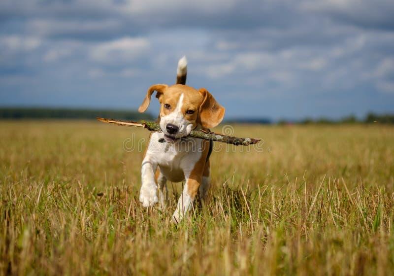 Spürhundhund, der um läuft und mit einem Stock spielt stockbild