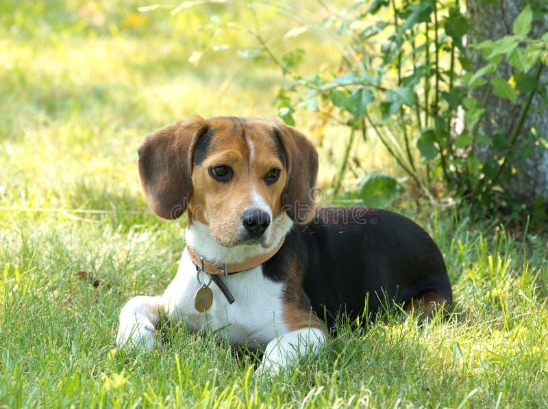 Spürhundhund im Garten lizenzfreie stockfotografie