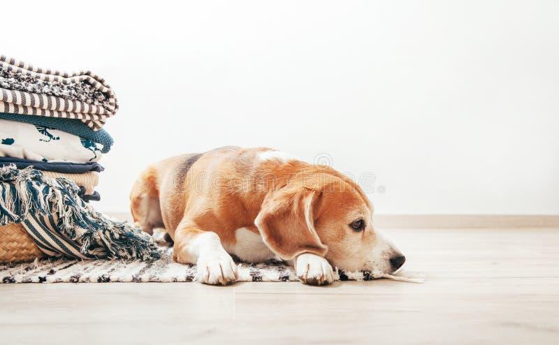 Spürhundhund liegt auf dem Boden im gemütlichen Haus nahe dem Korb mit L lizenzfreie stockfotos