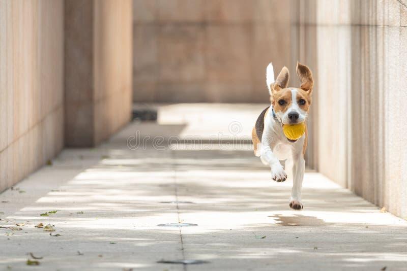 Spürhundhund mit dem schlaffen Betriebs- und Springenholen und dem Halten eines gelben Balls mit dem undeutlichen Hintergrund, de stockbilder