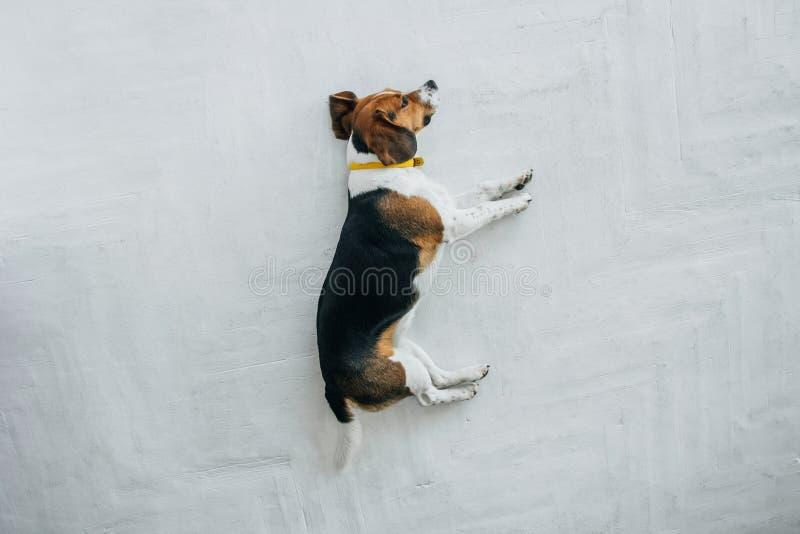 Spürhundhund mit einem gelben Kragen schlafend auf einem weißen Bretterboden Schläfriger schlafender und träumender Hund Dreifarb stockfotografie