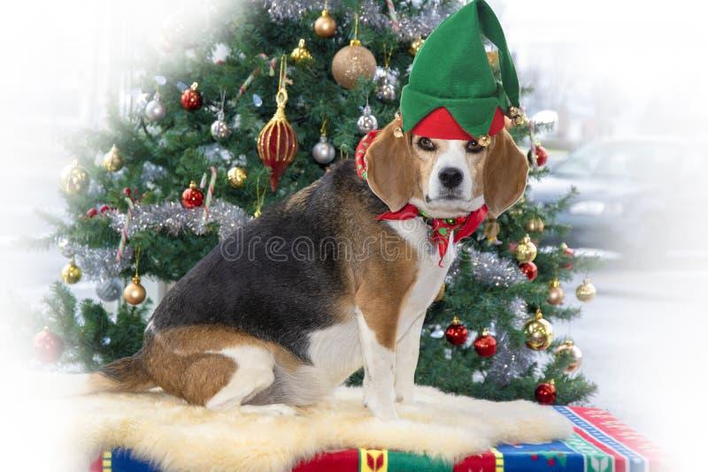 Spürhundhund mit Weihnachtshut stockbild