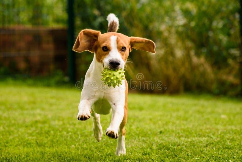 Spürhundhundehaustier laufen gelassen und Spaß im Freien Verfolgen Sie i-Garten am sonnigen Tag des Sommers mit dem Ball, der Spa stockbilder