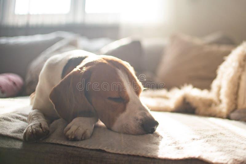 Spürhundhundemüder Schlaf auf einem gemütlichen Sofa, Couch, Sonne fällt durch Fenster lizenzfreie stockbilder