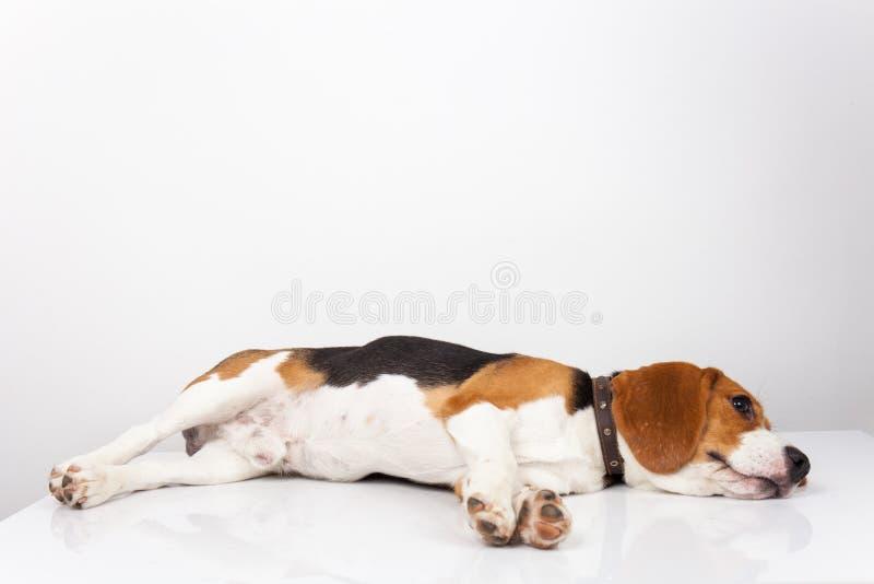 Spürhundhundesitzenisolat auf weißem Hintergrund lizenzfreies stockfoto
