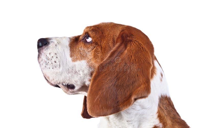 Spürhundkopf auf einem weißen Hintergrund stockbild