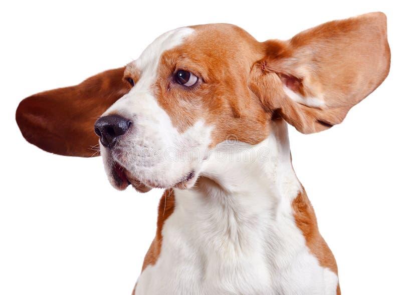 Spürhundkopf auf Weiß lizenzfreies stockbild