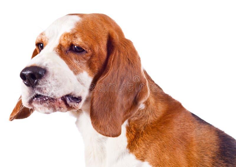 Spürhundkopf auf Weiß stockfoto