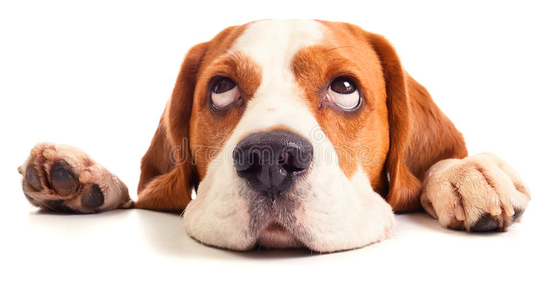 Spürhundkopf lokalisiert auf Weiß lizenzfreies stockfoto