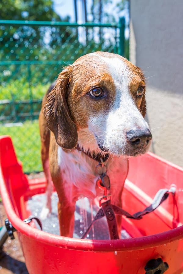 Spürhundmischung, die oben ein Sommerzeitbad beendet stockbilder