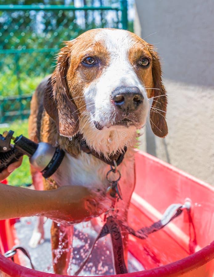 Spürhundmischungsjagdhund, der ausgespült und an einem heißen Sommertag geduscht erhält lizenzfreies stockbild