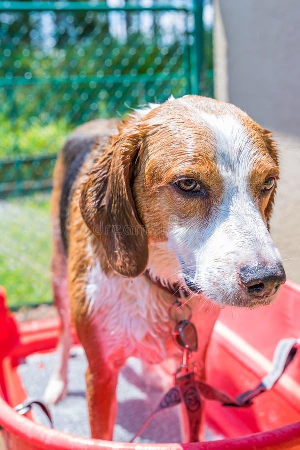 Spürhundmischungsjagdhund, der oben ein Sommerzeitbad beendet lizenzfreie stockfotografie