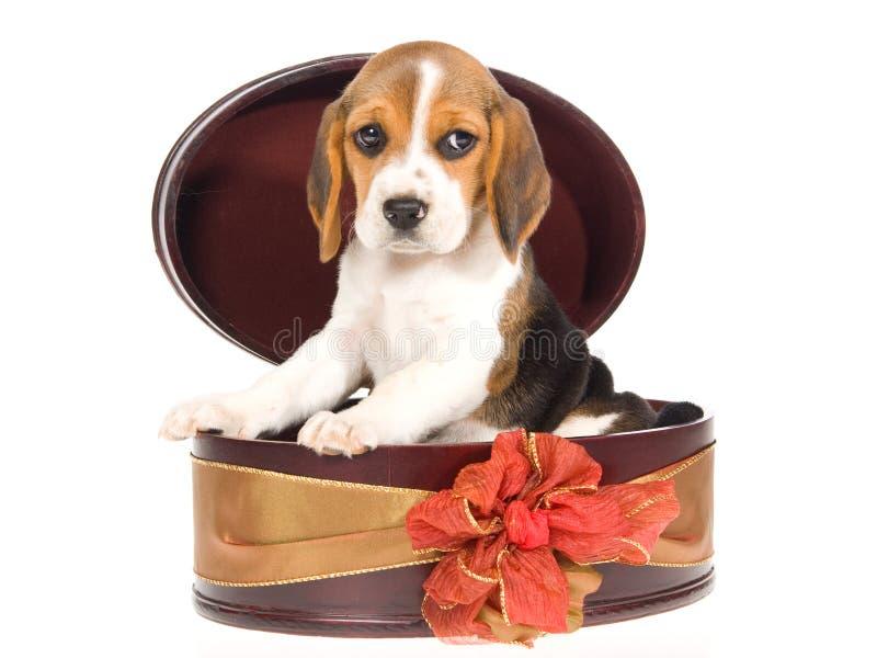 Spürhundwelpe innerhalb des runden Geschenkkastens lizenzfreie stockfotos