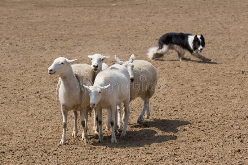 spędzili owce zdjęcie royalty free