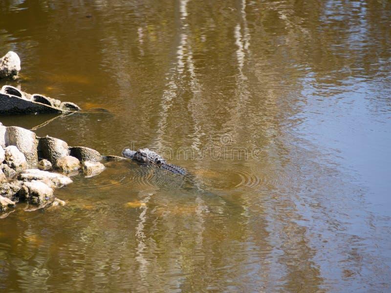Spławowy aligator zdjęcie royalty free