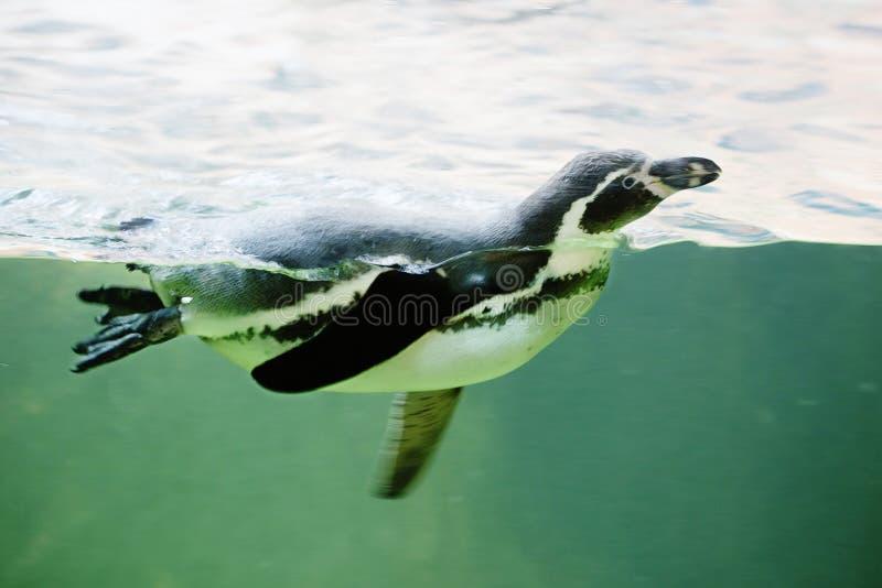 Spławowy pingwin obraz royalty free