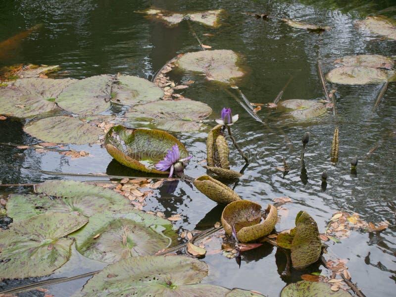 Spławowy Wodny Lillies przy Boka wierza obraz royalty free