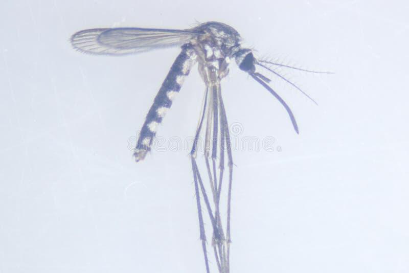 Sp анофелесов Личинка москита в воде для образования стоковые изображения rf
