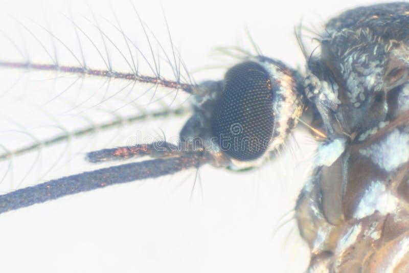 Sp анофелесов Личинка москита в воде для образования стоковое фото