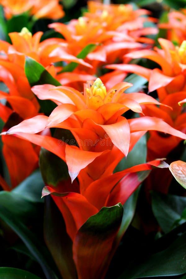 SP de Guzmania - planta interior ornamental preferida imagenes de archivo