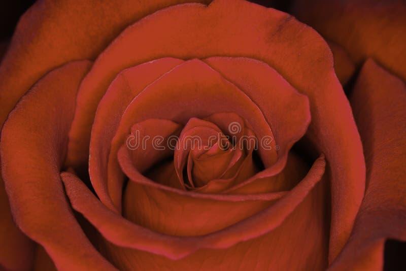 Sp de Rosa vermelha rosa Close-up principal da flor completa imagem de stock