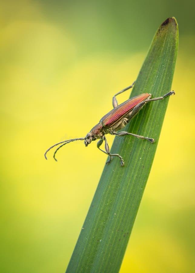 SP del escarabajo de hoja , SP de Donacia , en Rep?blica Checa imagen de archivo