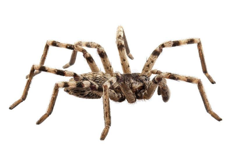 SP del lycosa de la araña de lobo foto de archivo