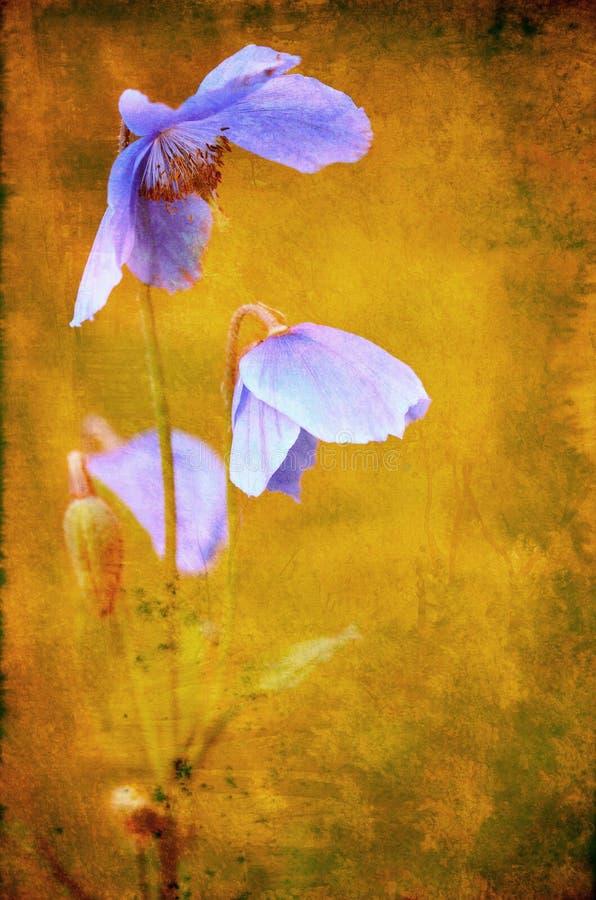 Sp Himalaia azul do Meconopsis da papoila foto de stock royalty free