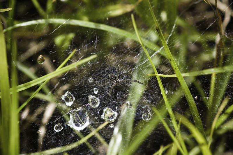 Sp lycosidae паука волка & падения росы на сети стоковые изображения