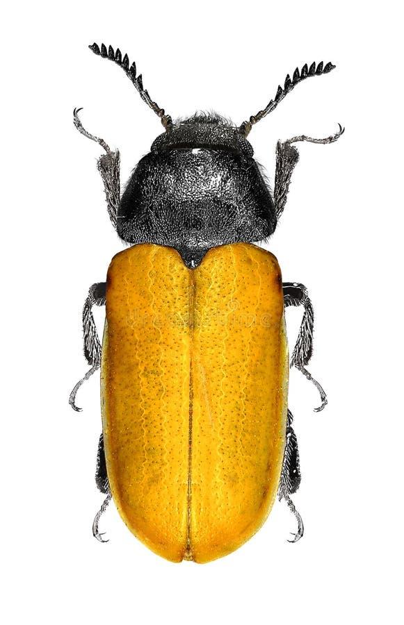 sp Pente-agarrado de Omophlus do besouro Tenebrionidae: Alleculinae imagens de stock