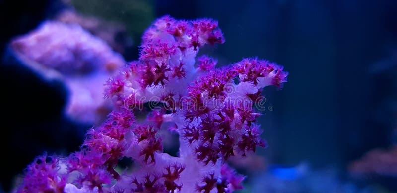 SP rojo de Coral Dendronephthya del árbol del clavel imagenes de archivo