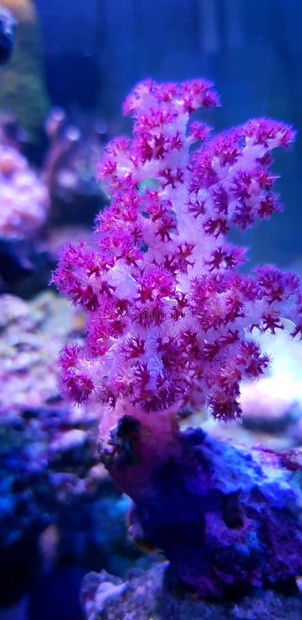 SP rojo de Coral Dendronephthya del árbol del clavel foto de archivo