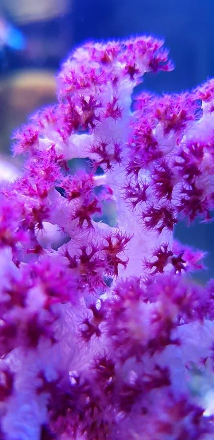 SP rojo de Coral Dendronephthya del árbol del clavel fotos de archivo