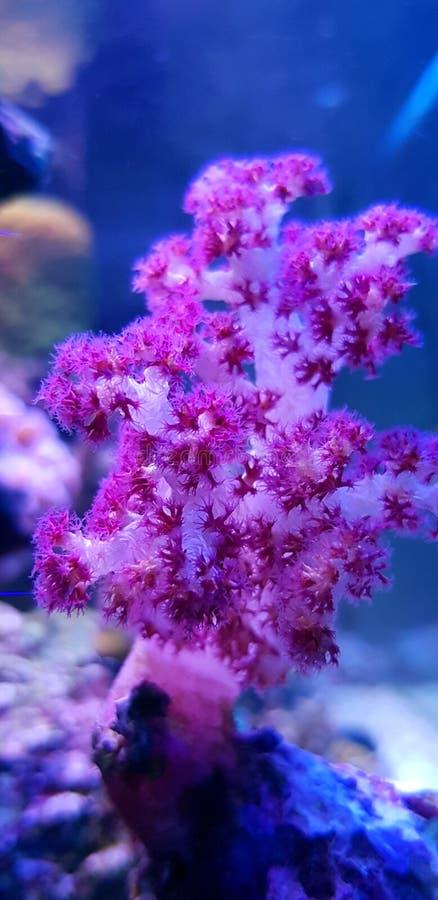 SP rojo de Coral Dendronephthya del árbol del clavel fotografía de archivo libre de regalías