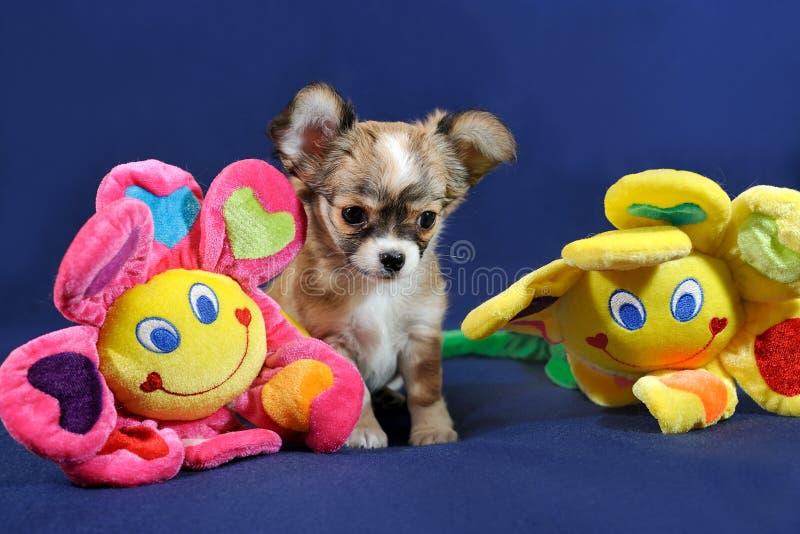 Spaß mit Sonnenblumen - Chihuahua-Welpe stockfoto