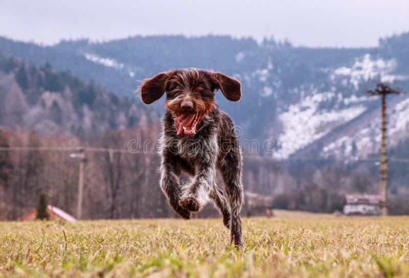 Spaßgesicht Weibchen ist das Lachen ihr vorangehen weg Hunde-Jagdhund-böhmischer Draht behaartes Zeige-Griffon genießt Freiheit F lizenzfreie stockfotos