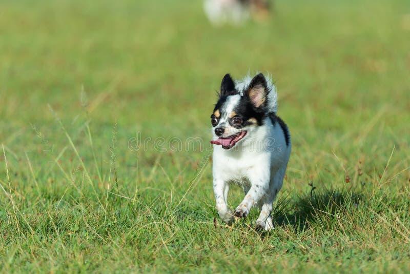Spaßhund, glückliche Hunde, die Spaß auf einem Gebiet, laufend auf dem Feld haben chihuahua stockfotos