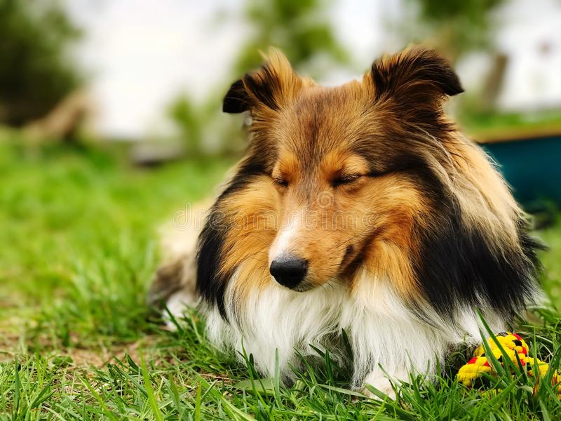 Spać Shetland sheepdog obraz royalty free