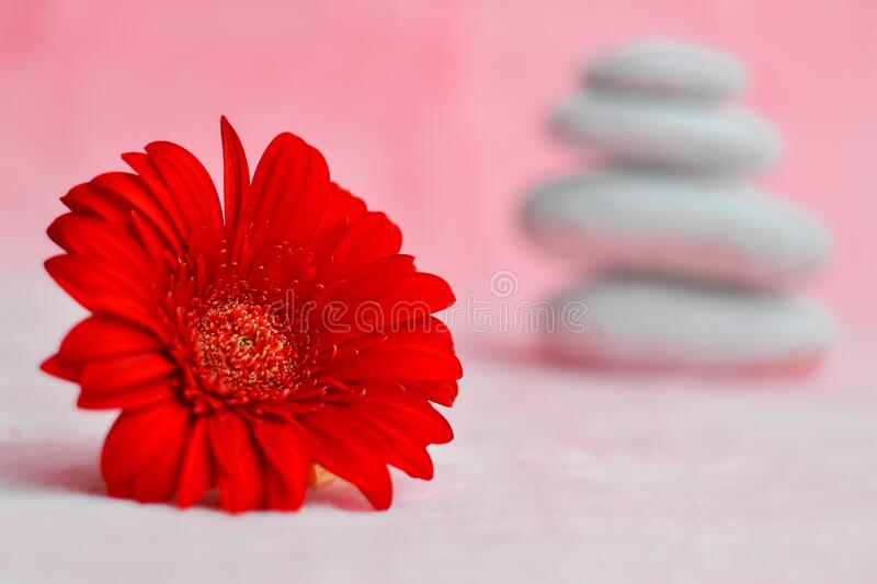Spa background with red gerberas and white stones. Zen, meditation, harmony, calm. Selective focus, place for text. Spa background pink, with red gerberas and royalty free stock photo