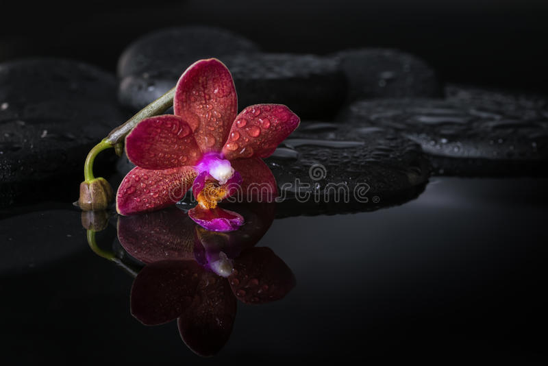 Spa concept of dark purple orchid (phalaenopsis), bud. On zen stones with drops in reflection water, closeup stock photo