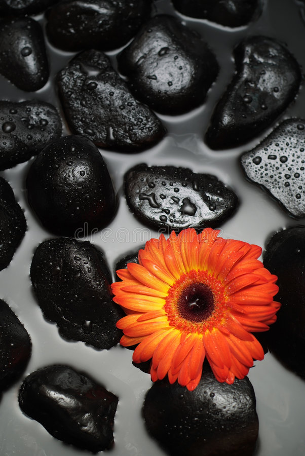 Download Spa Gerber Daisy stock photo. Image of dayspa, colorful - 3991404