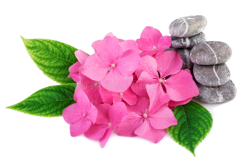 Spa stones zen with pink flowers. On white background royalty free stock photos