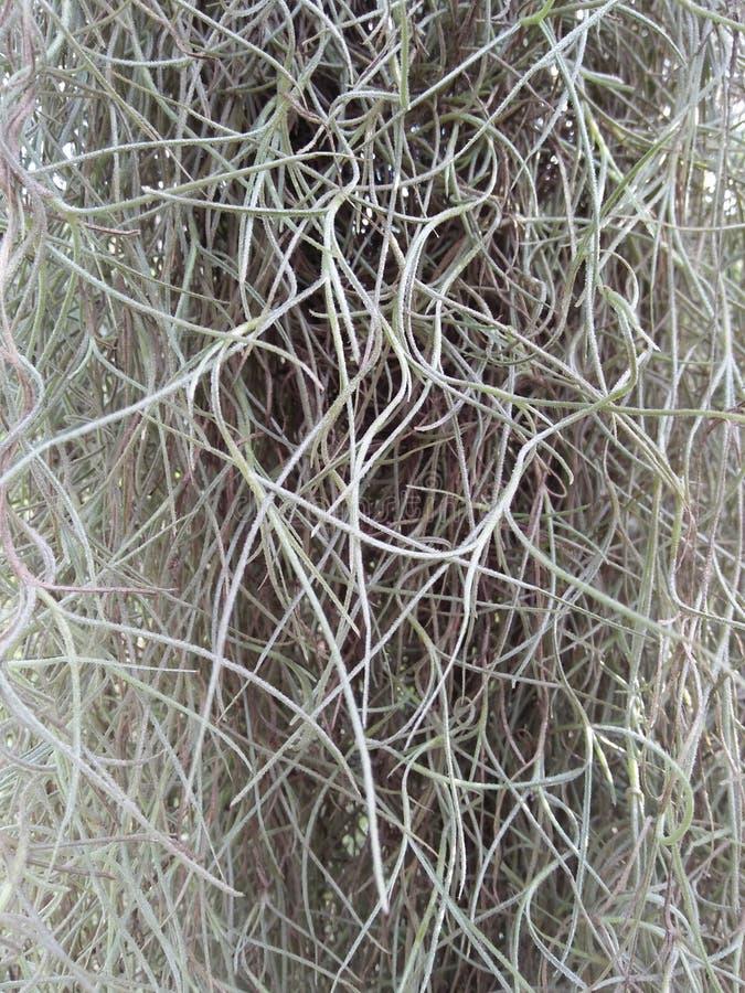 Spaans mos stock afbeeldingen