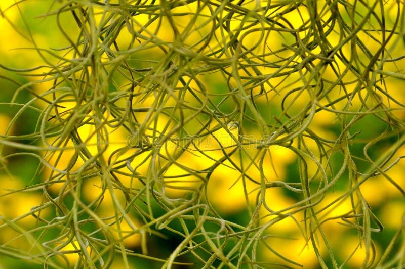 Spaans Mos voor een achtergrond van gele goudsbloemen royalty-vrije stock afbeeldingen