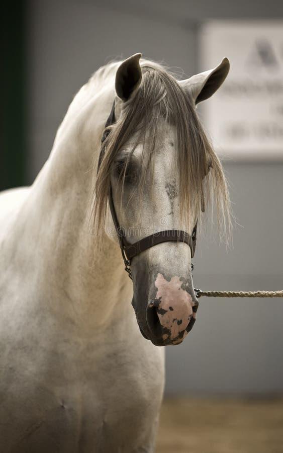 Citaten Uit Klassieke Oudheid : Spaans rasecht paard die in de schrijver uit klassieke