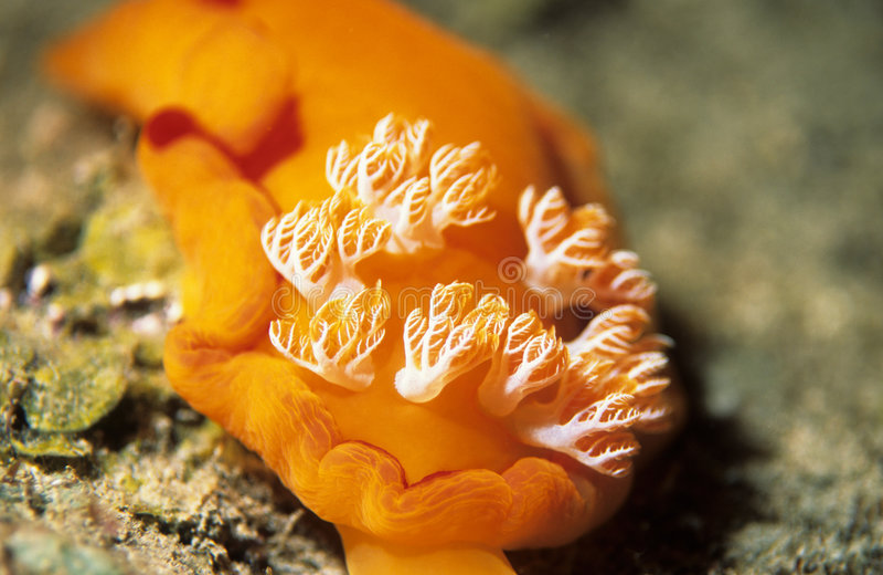 Spaanse Danser Nudibranch royalty-vrije stock fotografie