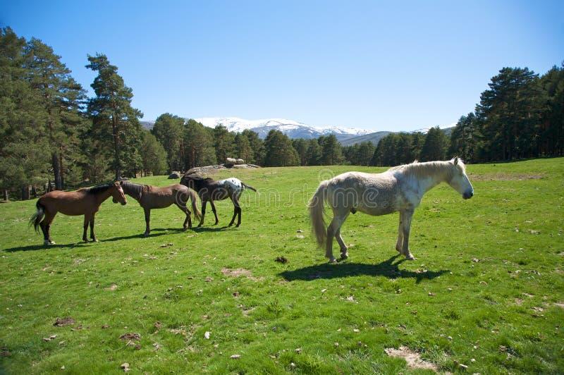 Spaanse familiepaarden stock afbeeldingen