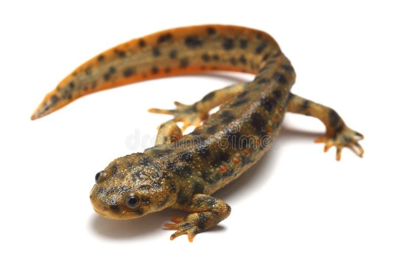 Spaanse geribbelde newt (Pleurodeles waltl) stock fotografie