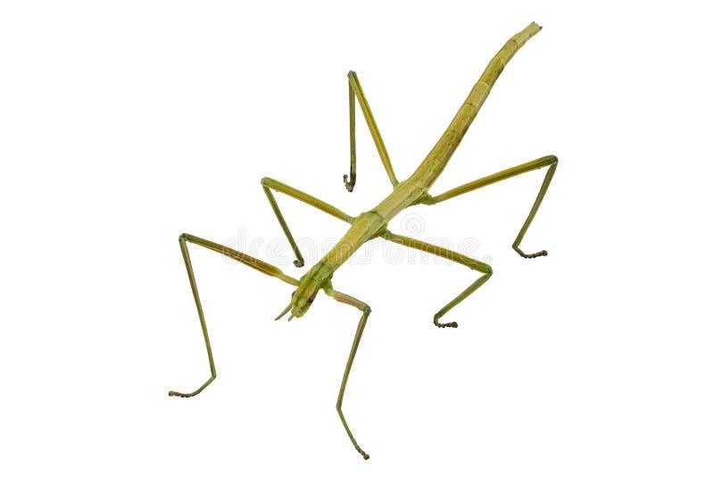 Spaanse hispanica van de speciesleptynia van het Wandelstokinsect stock afbeelding