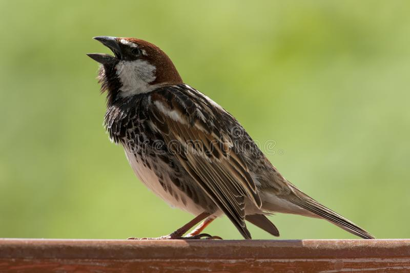 Spaanse Mus, passero spagnolo, hispaniolensis del passante fotografia stock